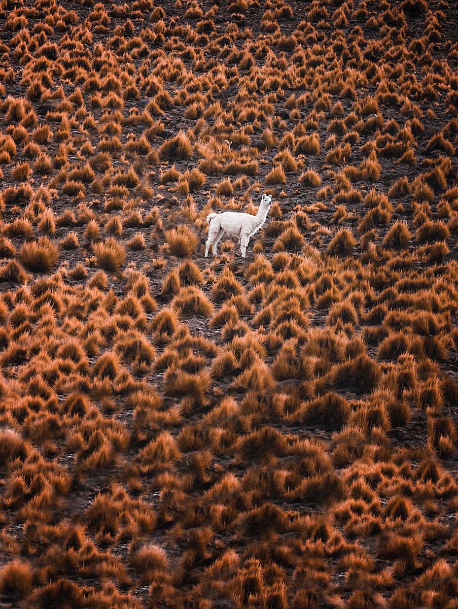 Llamas - Bolivia